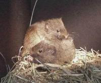 A Pair of Voles. Happy couple?